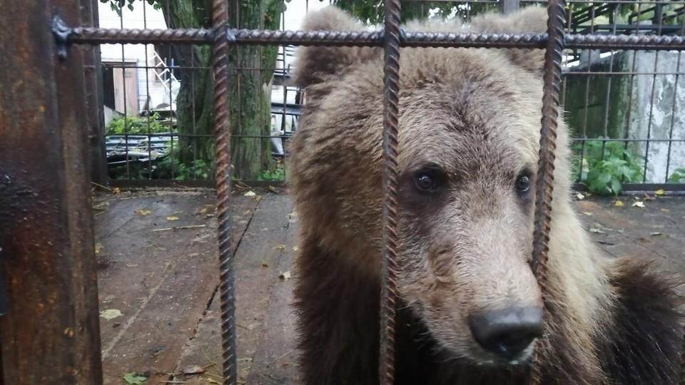 Пушистый медвежонок поселился в в Центре помощи диким животным в Рапполово. Фото: предоставлено Центром «Велес».